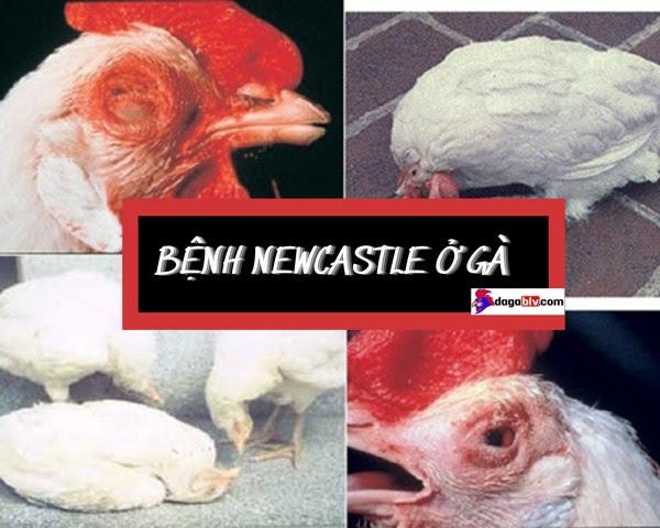 bệnh Newcastle ở gà