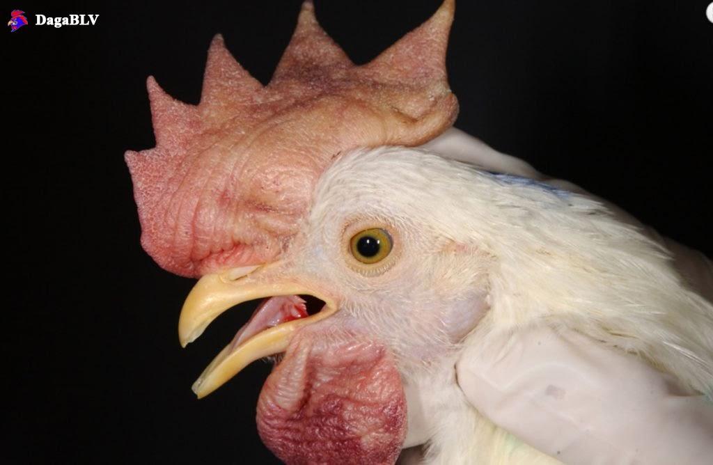 Newcastle ở gà chọi