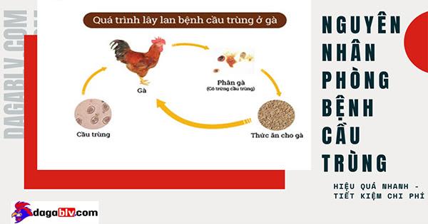 Bệnh cầu trùng ở gà lây truyền qua đường tiêu hóa là chủ yếu.