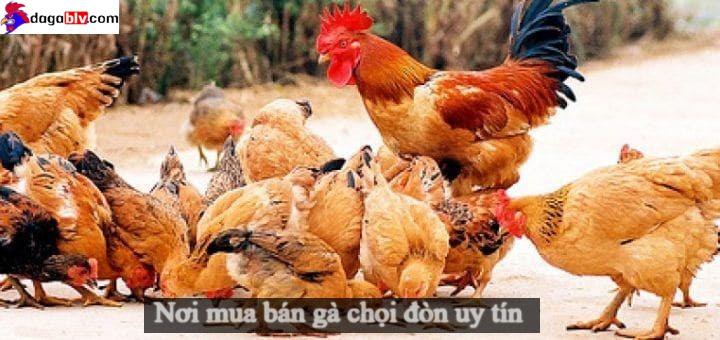Mua bán gà chọi đòn