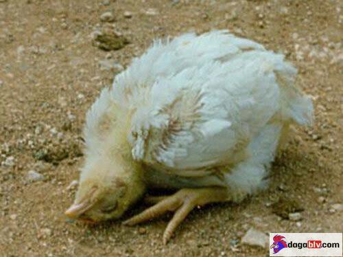 Triệu trứng bệnh dịch tả ở gà