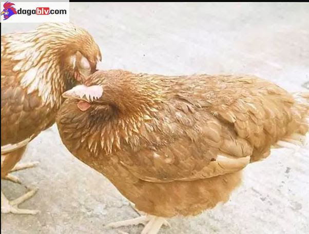 bệnh e coli trên gà