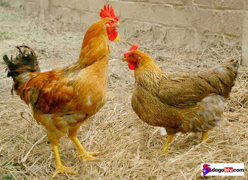 thuốc đặc trị ecoli ở gà