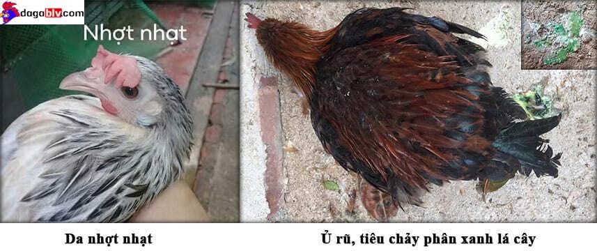 Triệu chứng bệnh ký sinh ở gà