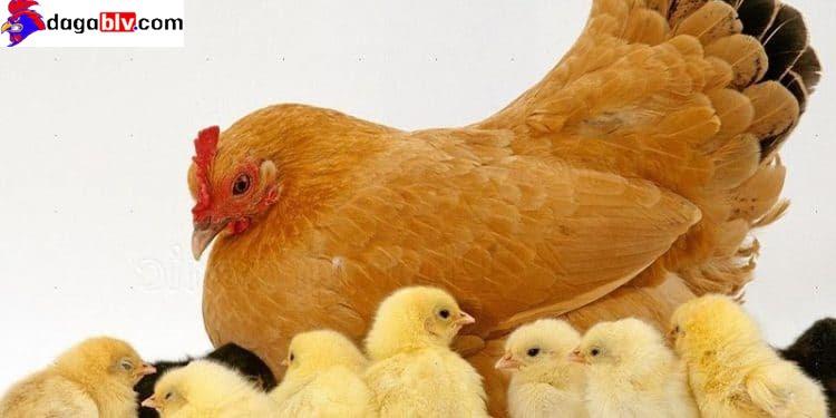Phòng tránh bệnh ký sinh trùng đường máu ở gà