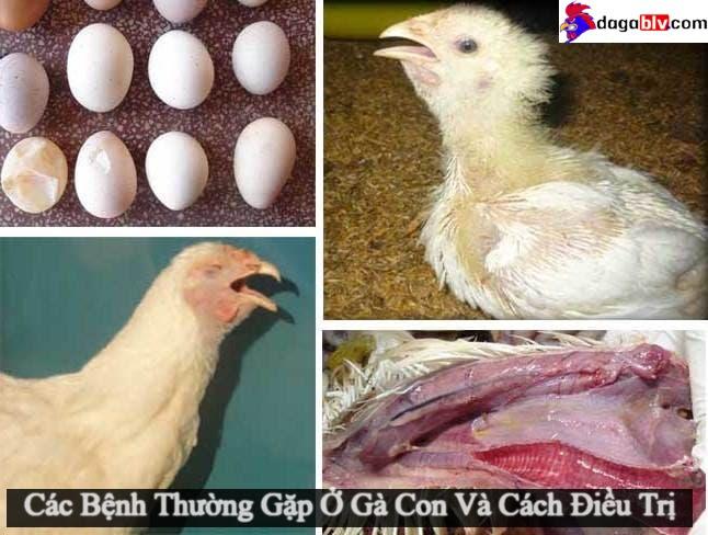 Các bệnh thường gặp ở gà con và cách điều trị