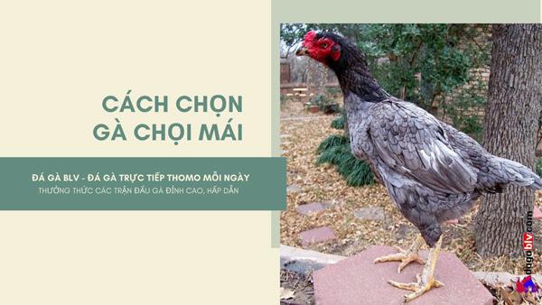 Cách chọn gà chọi mái