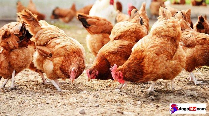chữa khò khè cho gà bằng lá trầu không