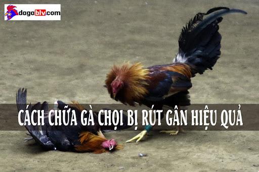 Cách chữa gà chọi bị rút gân
