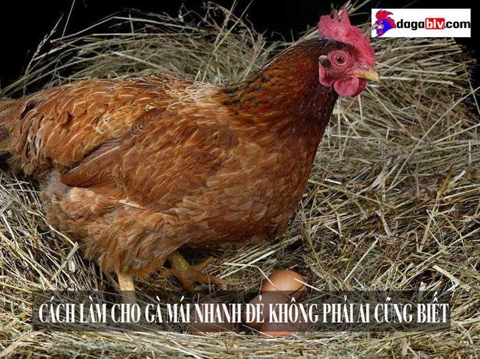 cách làm cho gà mái nhanh đẻ