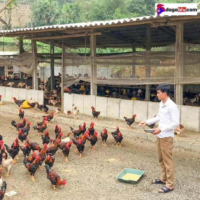 mô hình nuôi gà thả vườn