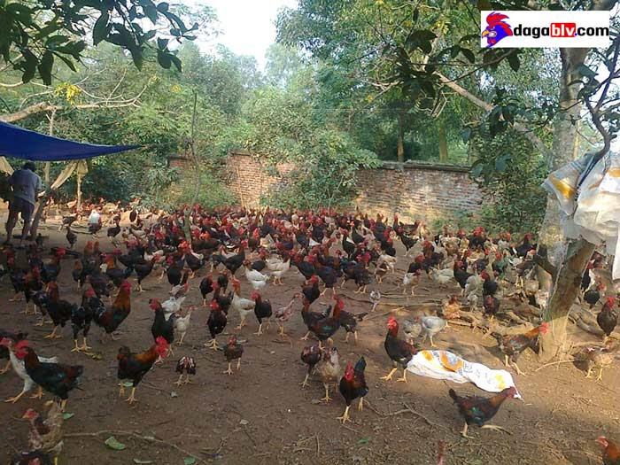 Cách làm chuồng nuôi gà thả vườn đơn giản