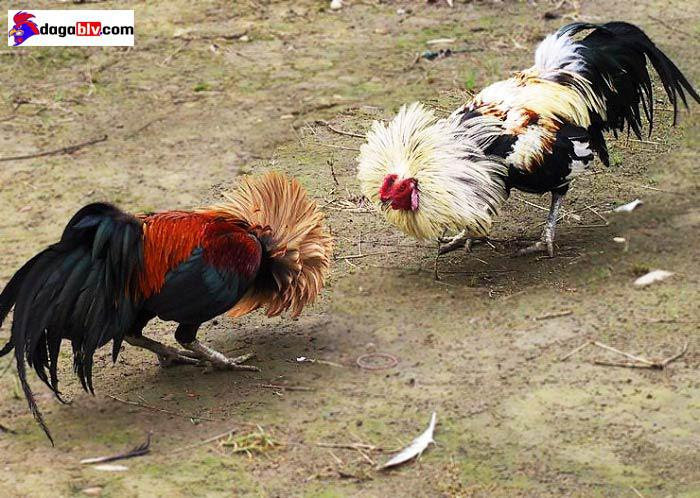 cách nuôi gà tre đá có lực