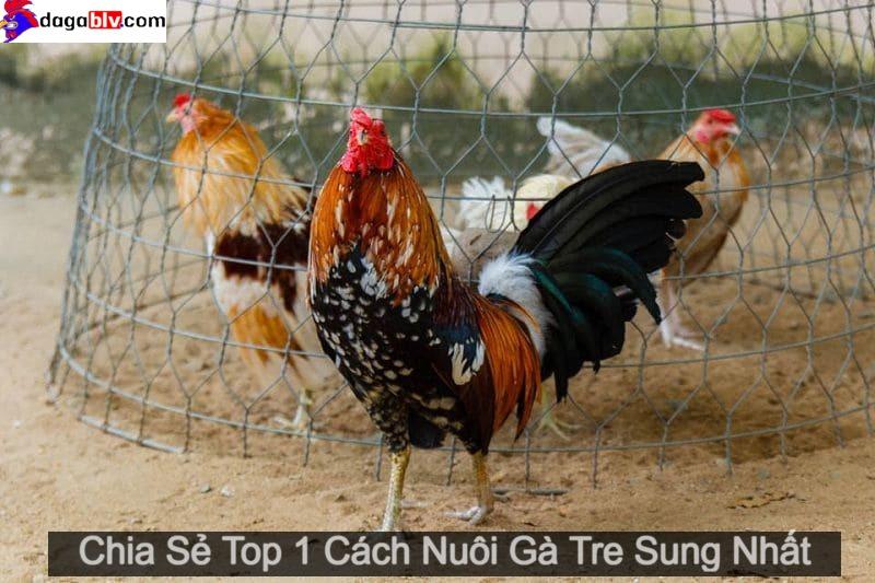 cách nuôi gà tre sung