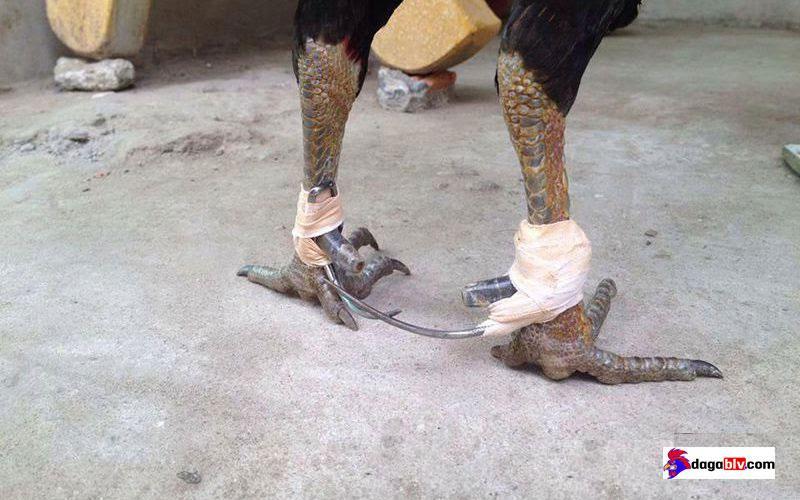 Nên sử dụng băng tan quấn quanh chân gà