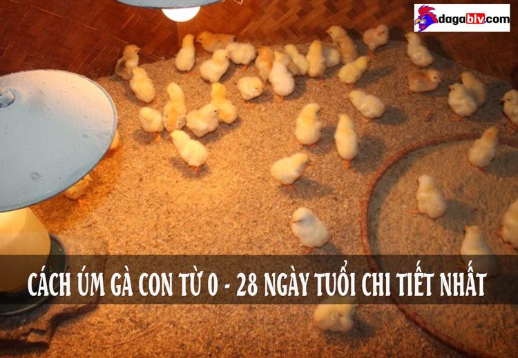 cách úm gà con