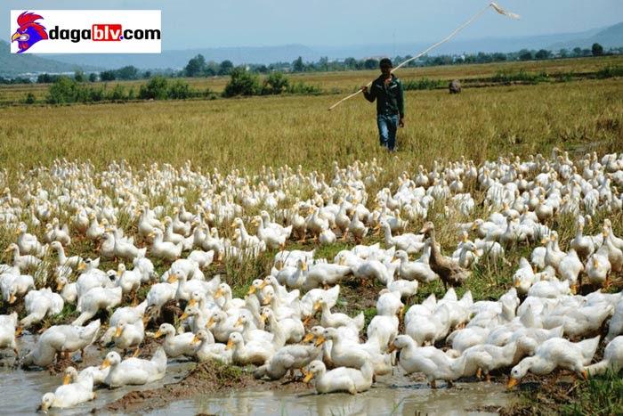 chi phí nuôi 100 con vịt