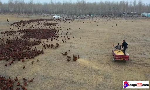 nuôi gà chạy bộ