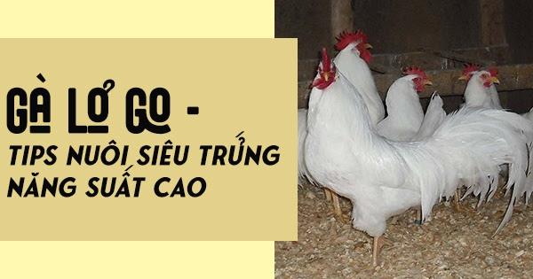 Cách chăm sóc gà Lơgo trong giai đoạn sinh sản