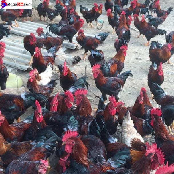 Hình ảnh về giống gà mía