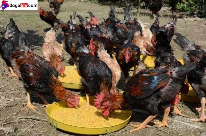 Máng ăn dành cho gà