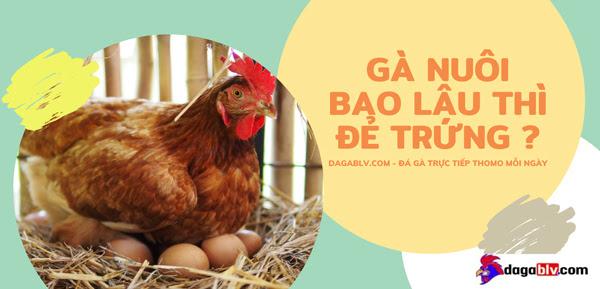Gà nuôi bao lâu thì đẻ trứng