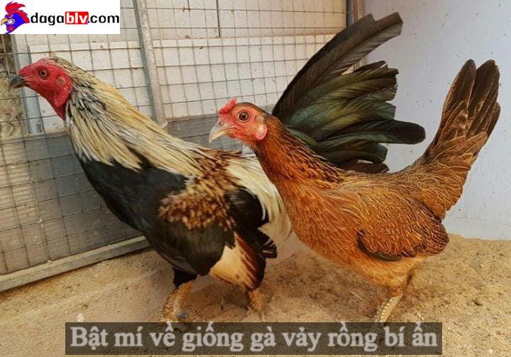 Giống gà vảy rồng quý hiếm nhất Việt Nam
