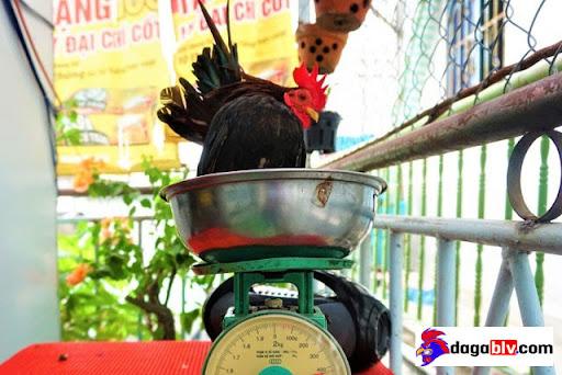 Gà Serama - Giống gà kỳ lạ thích massage uống rượu