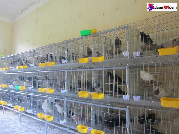 Chuồng nuôi chim bồ câu nhốt