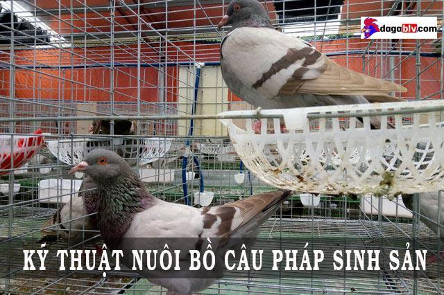 kỹ thuật nuôi bồ câu pháp sinh sản