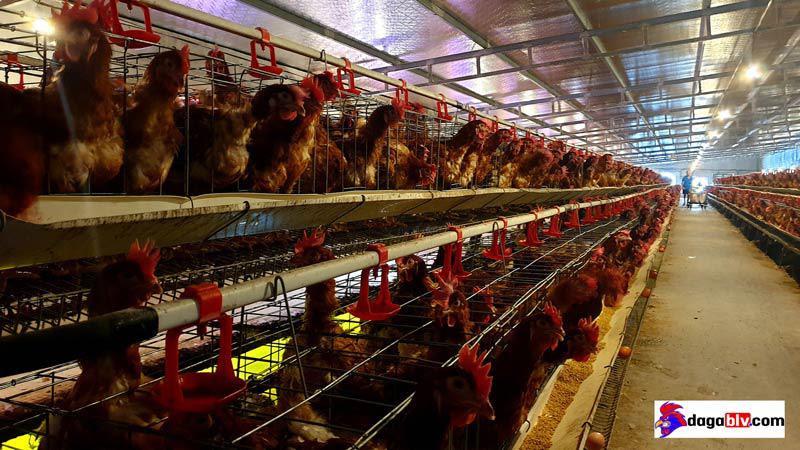 Mẹo hay về kỹ thuật nuôi gà nhốt chuồng