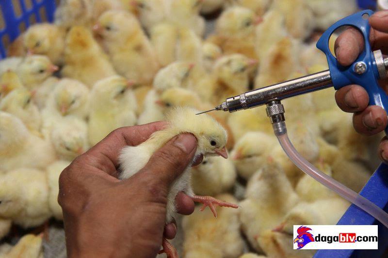 lịch vacxin cho gà