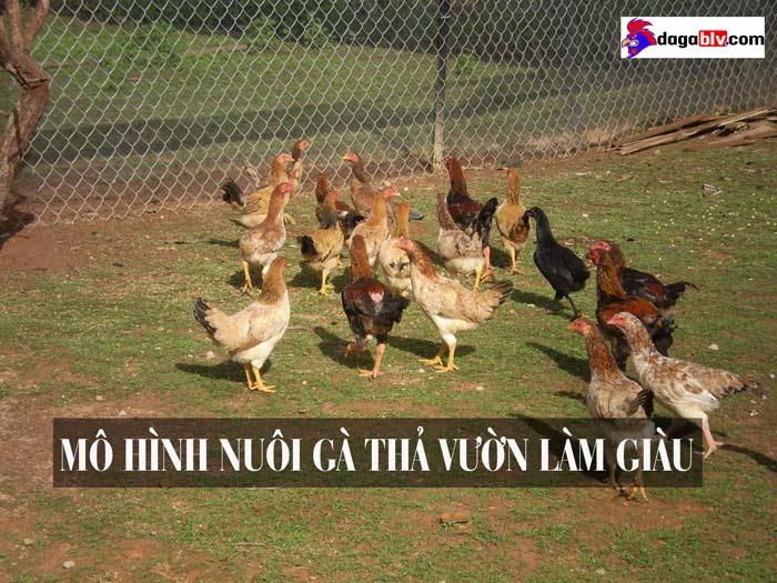 Mô hình nuôi gà thả vườn làm giàu