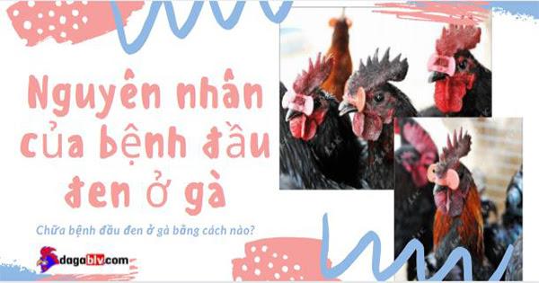 Bệnh đầu đen ở gà