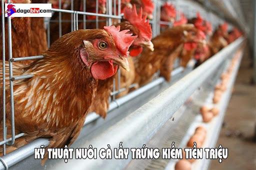 nuôi gà lấy trứng