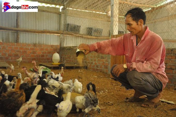 nuôi gà quý làm giàu