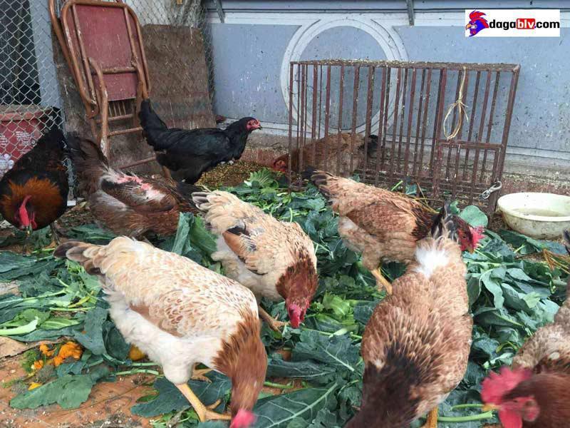 nuôi gà trên sân thượng